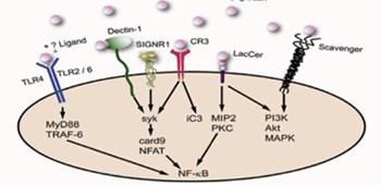 Бета глюкани – модификатори на биологичния отговор