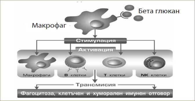beta-glucan